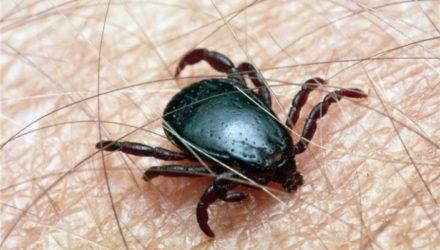 В Сибири нашли новый вариант вируса клещевого энцефалита